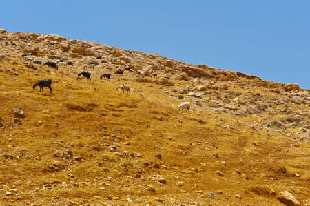 Herd of Goats Grazing in the Mountains of Samaria, Israel Stock Photo - 16857947