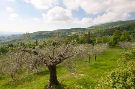 apennines: Olive Grove on the Slopes of the Apennine Mountains, Italy