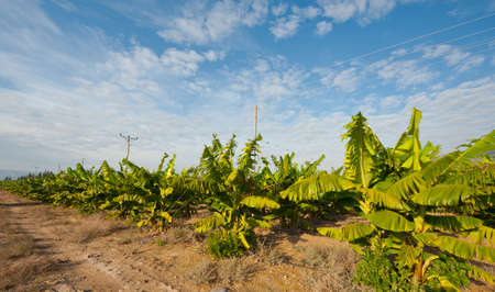 in the heights: Banana Plantation on the Golan Heights