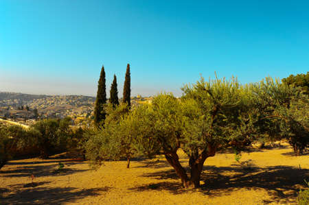 View to Jerusalem from the Olive Grove on the  Mount of Olive