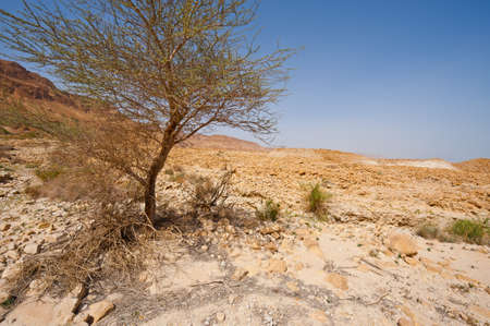 vadi: Tree in Judean Desert on the West Bank