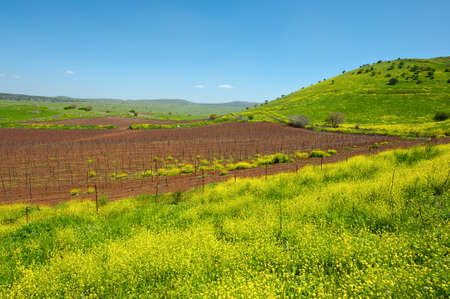 Rows of Vines on the Field in Golan Heights, Early Spring