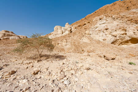 vadi: Tree in the Judean Desert on the West Bank of the Jordan River
