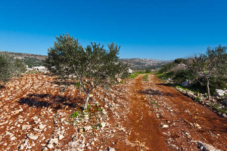 israel farming: Olive Grove on the Slopes of the Hills of Galilee, Israel