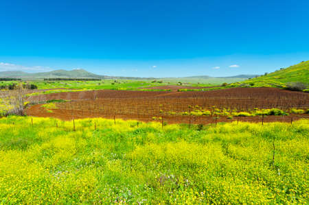 the golan heights: Rows of Vines on the Field in Golan Heights, Early Spring
