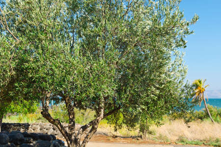 kibbutz: Olive Grove on the Shore of the Sea of Galilee