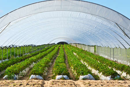 seeding: Strawberry Beds inside the Greenhouse in Portugal Stock Photo