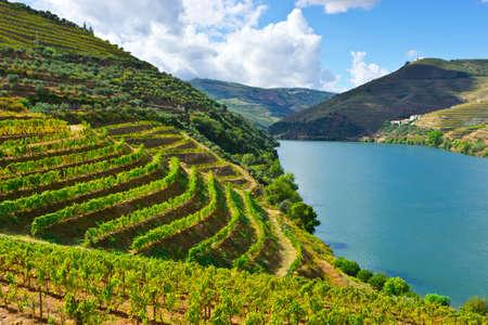 vi�edo: Vi�edos en el valle del r�o Douro, Portugal Foto de archivo