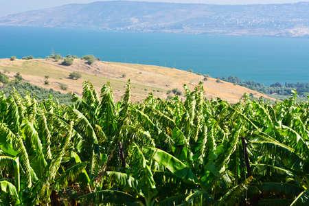 golan: Banana Plantation on the Golan Heights