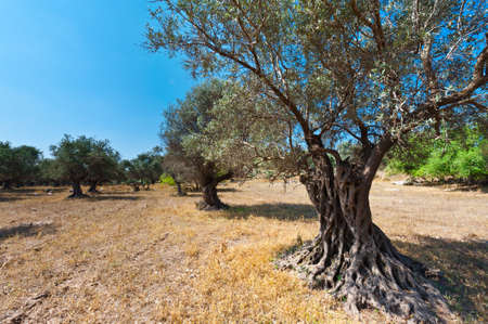 israel farming: Olive Grove on the Slopes of the Mountains in Israel Stock Photo