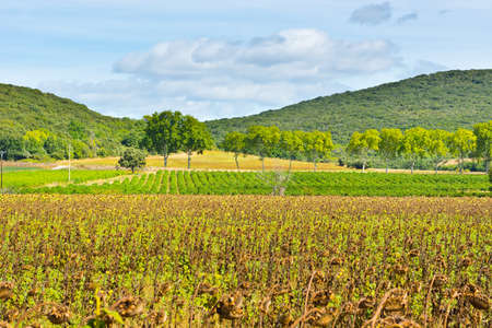 Wilted Sunflower Fields and Green Vineyards photo
