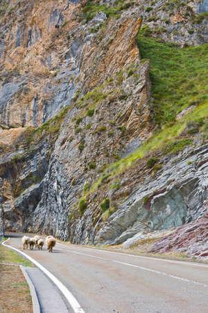 sheep warning: Sheep Walking along the Road in the Cantabrian Mountain, Spain