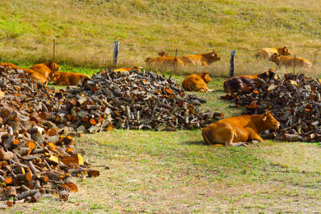 Cows Lying Near the Firewood on the Pasture photo