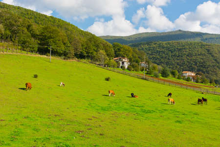 Cows and Horses on Alpine Meadows in Italy photo