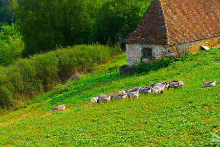 Geese Grazing on a Hillside in France