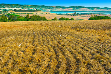 White Herons on the Field in Spain photo