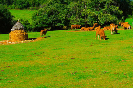 Cowsl Grazing on Alpine Meadows in France photo