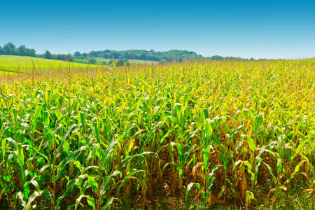 Plantation of Corn in the French Limousen photo