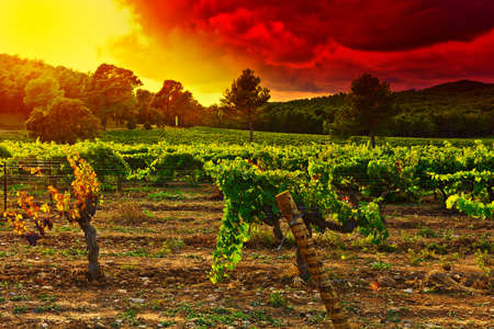 Sunset in Ripe Black Grapes in the Autumn, France Stock Photo