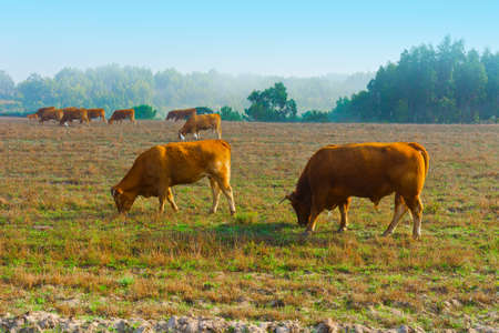 Cows and Bulls Grazing on Meadows in Portugal photo
