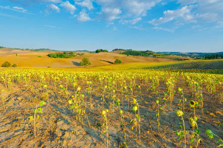 Sunflower Plantation on the Hills of Tuscany photo