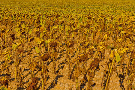 Wilted Sunflower Fields in France photo