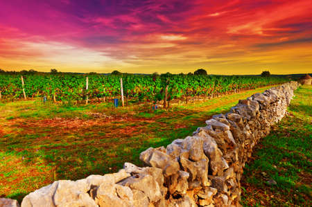 winepress: Ripe Black Grapes in the Autumn in France, Sunset