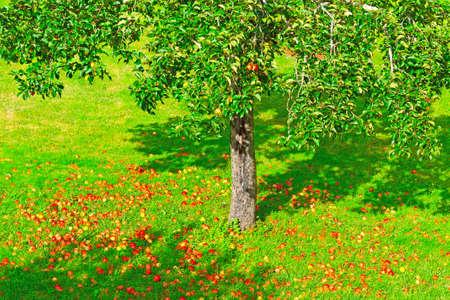 Fallen Apples under the Tree in France Banco de Imagens
