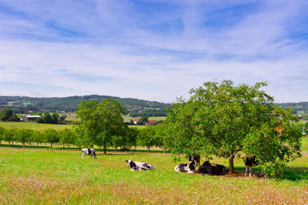 Cows Grazing on Alpine Meadows in France photo