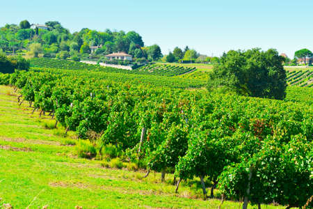 Grapes in the Autumn in Bordeaux, France Stock Photo