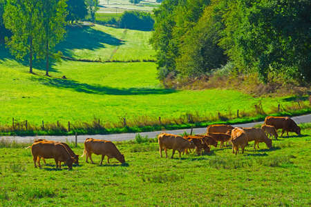 Cows and Bulls Grazing on Alpine Meadows in France photo
