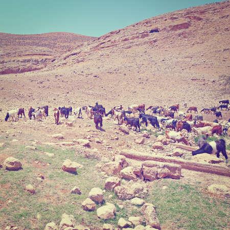 Herd of Goats Grazing in Israel Effect photo