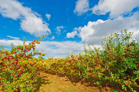 harvests: Apples on the Tree Ready for Harvests in Portugal