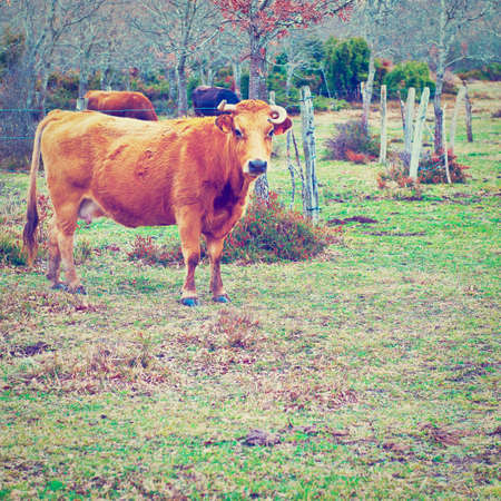 Cow Grazing on Alpine Meadows in Pyrenees photo
