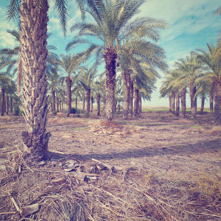 Plantation of Date Palms in Israel photo