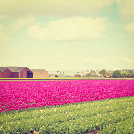 Hothouses between the Fields of Tulips in Netherlands photo