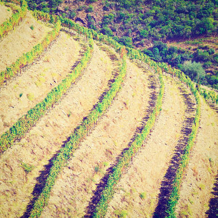 extensive: Extensive Vineyards on the Hills of Portugal, Retro Effect