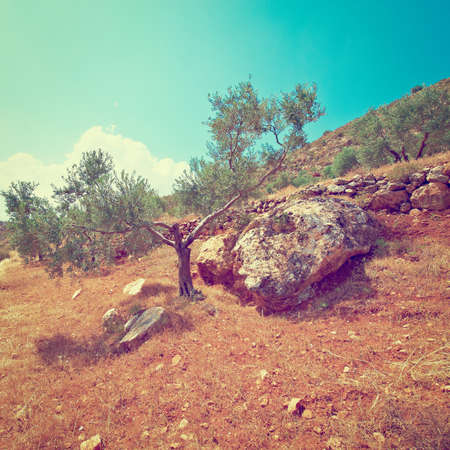 Olive Grove on the Slopes of the Mountains of Samaria, Retro Effect photo