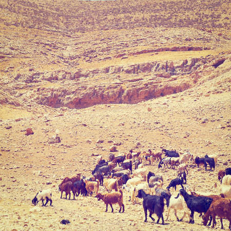 Herd of Goats Grazing in the Mountains of Samaria, Retro Effect photo