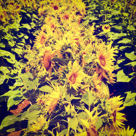 Close-up of the Big Sunflower in a Field, Retro Effect photo