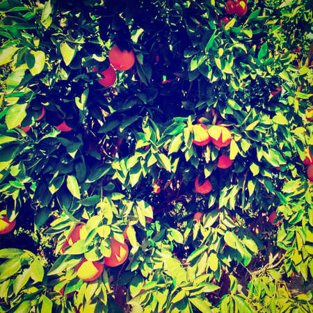 israel farming: Oranges on the Tree Ready for Harvests, Retro Effect