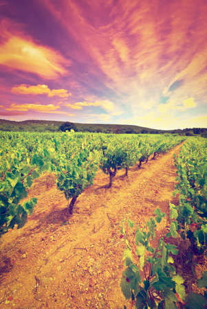 Young Vineyard in Southern France, Sunset, Retro Effect photo