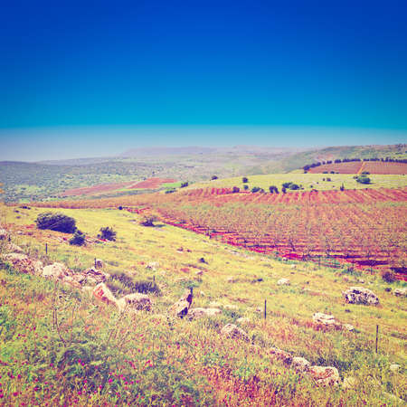 israel farming: Rows of Vines on the Field in Golan Heights, Retro Effect