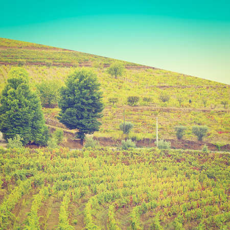 portugal agriculture: Vineyards on the Hills of Portugal
