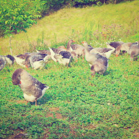 Geese Grazing on a Hillside in France photo
