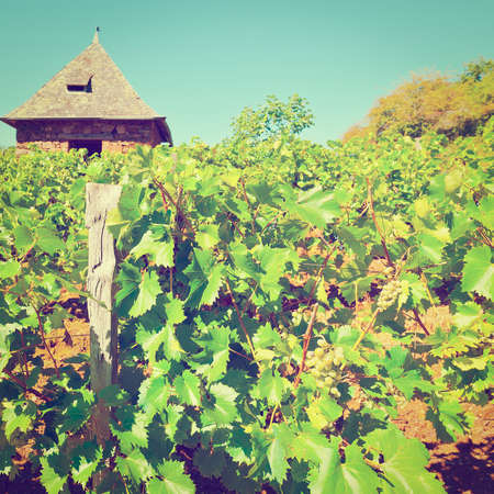 winepress: Ripe Grapes in the Autumn in France
