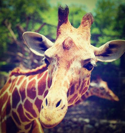reticulated giraffe: Head Of Reticulated Giraffe, Girafa Camelopardalis Reticulata