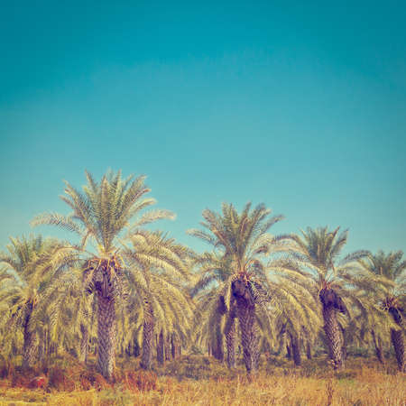 Plantation of Date Palms in the Jordan Valley, Israel photo