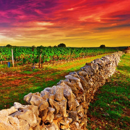 winepress: Sunset view of Ripe Black Grapes farm in the Autumn in France
