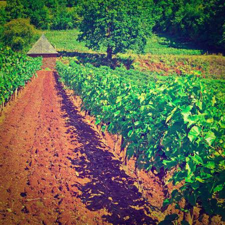 winepress: Ripe Black Grapes farm in the Autumn in France